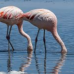 Flaming chilijski (Phoenicopterus chilensis) - Chile